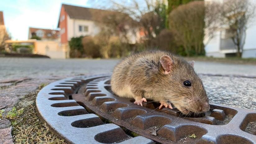 FOTOS, VIDEO: Una rata obesa queda atrapada en una tapa de alcantarilla y origina una gran operación de rescate