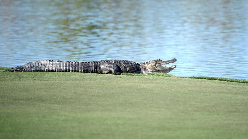 FOTO: Caimán irrumpe en un torneo de golf en Florida y roba una bola