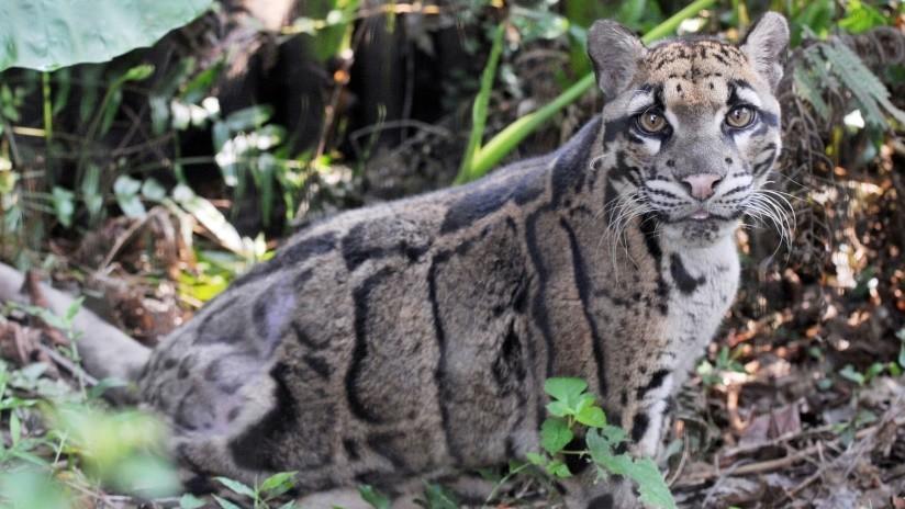 Júbilo en Taiwán: Reaparece un leopardo al que se creía extinto hace años