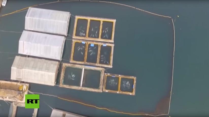 Rusia inicia nueva investigación contra los responsables de la 'cárcel de ballenas'