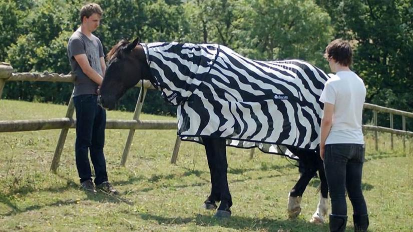 Disfrazan a caballos de cebras; las rayas protegen de los mosquitos