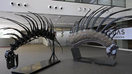 Réplicas de la especie de dinosaurio Bajadasaurus pronuspinax hallado en Argentina.