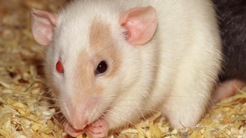 Ratones aprenden a ver en infrarrojo gracias a una tecnología innovadora