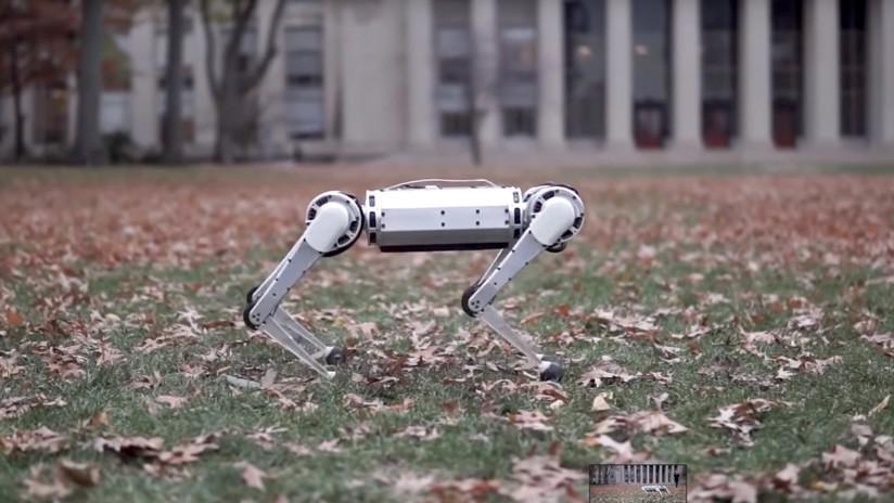 VIDEO: Presentan el nuevo Mini Cheetah, un robot capaz de trotar más rápido que un hombre y de hacer volteretas