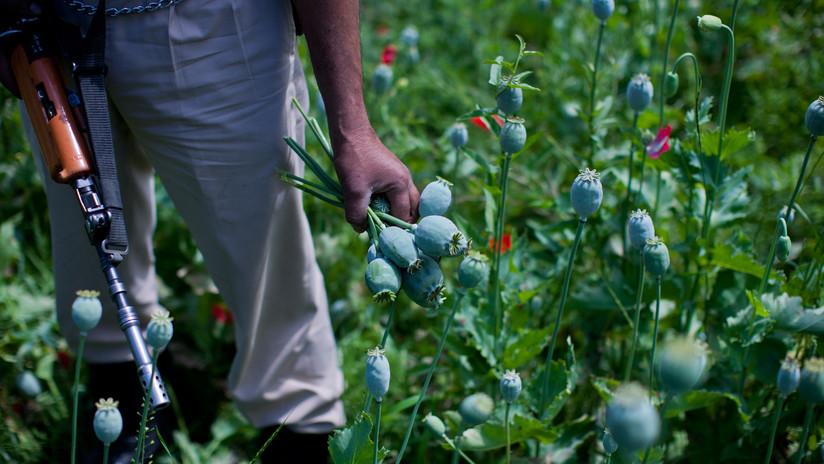 'Loros adictos' causan estragos en plantaciones de opio en la India