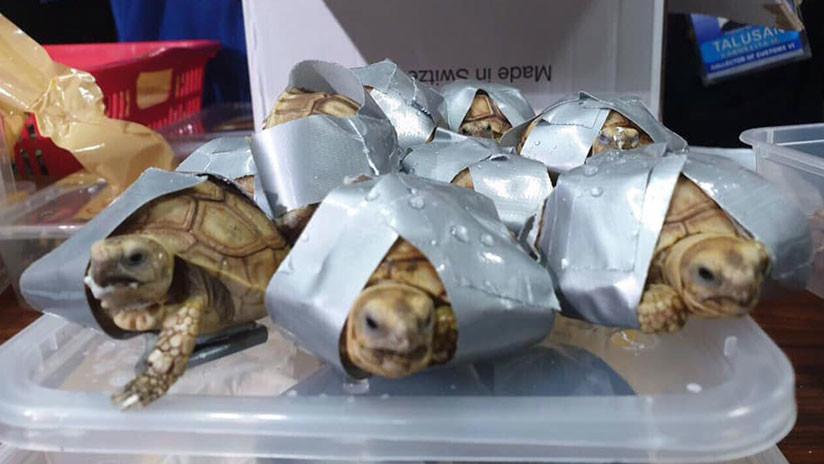 FOTOS: Encuentran más de 1.500 tortugas vivas en maletas abandonadas en un aeropuerto de Filipinas