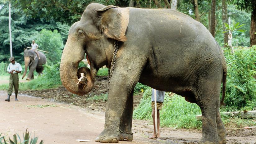 IMÁGENES: Un elefante mata a su cuidador al sentarse encima