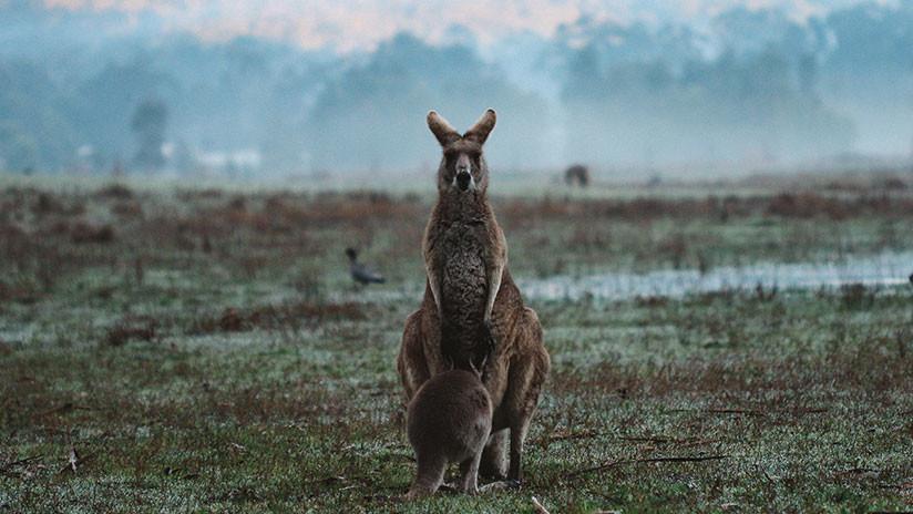 VIDEO: Captan en Australia un insólito ataque de un águila a un canguro adulto