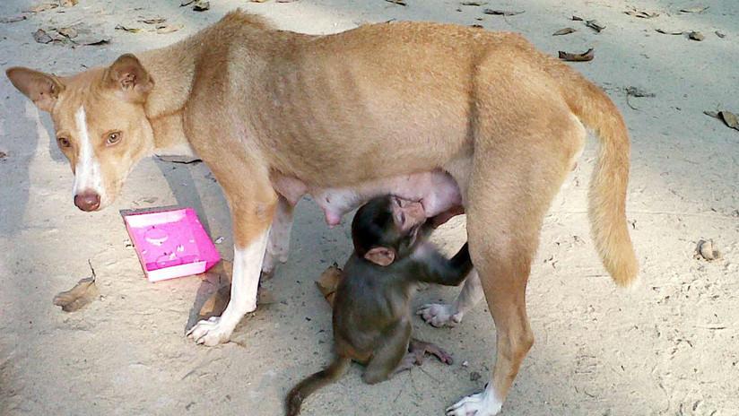 VIDEO: Una perra cuida y amamanta a un pequeño mono en la India