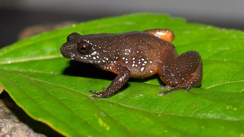 FOTO: Descubren una nueva especie de rana 'espacial' que pasó desapercibida millones de años