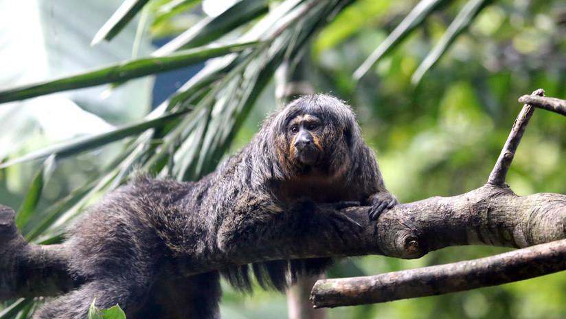 Un mono causa impresión con sus músculos de culturista (FOTOS)