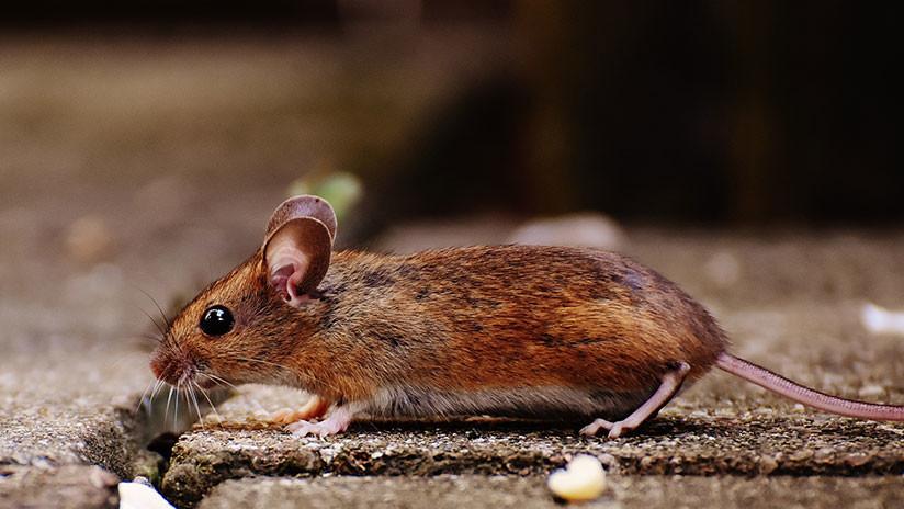 VIDEO: Un ratón toma las riendas del cobertizo de una casa y lo pone en orden