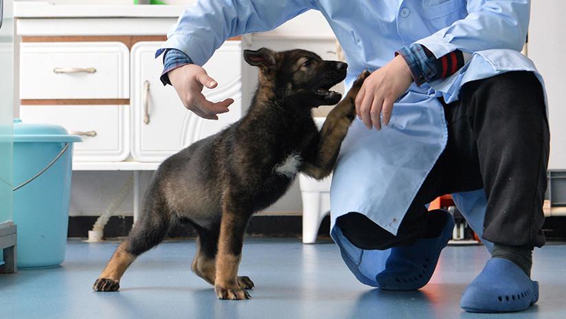 China clona a uno de sus mejores perros policía para ahorrar en entrenamientos