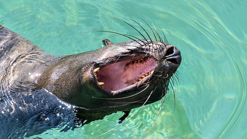 VIDEO: El brutal ataque de un león marino a un tiburón en la bahía de San Francisco