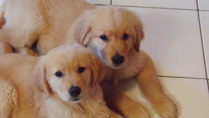 Perro ciego es guiado por adorable cachorro