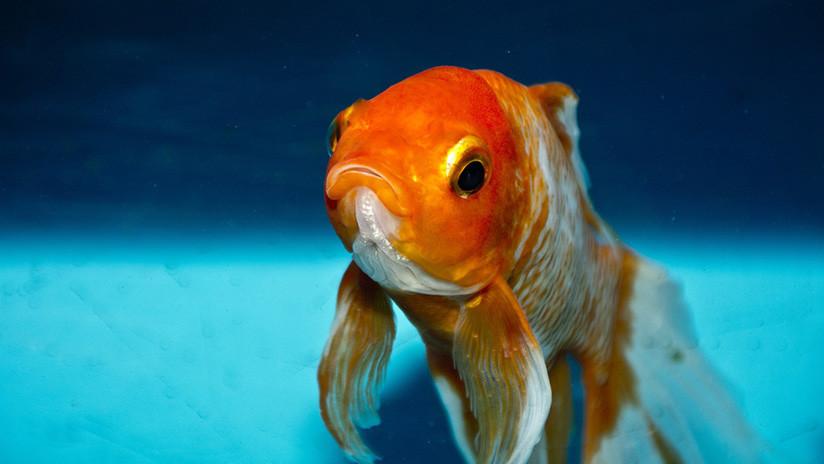 Se traga un pez dorado vivo, publica el video de su 'gesta' en Internet y lo multan con 500 euros