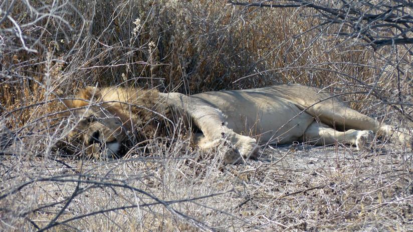 Un cazador mata a un león dormido