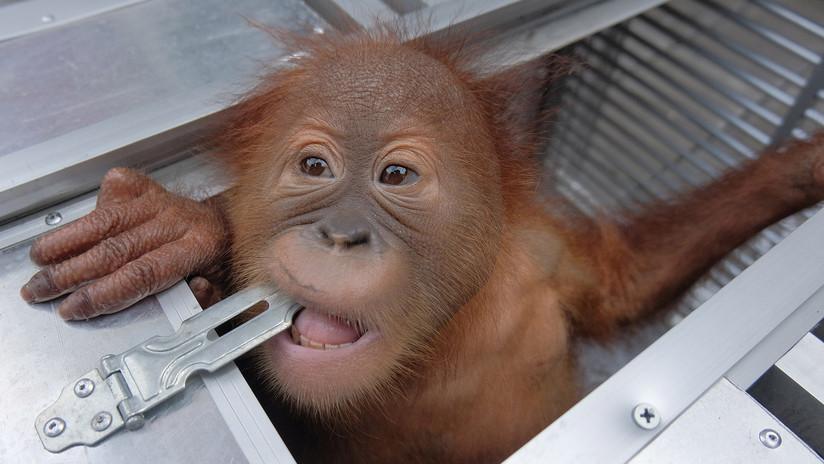 Detienen a un turista ruso en Indonesia cuando intentaba volar con un orangután en su equipaje