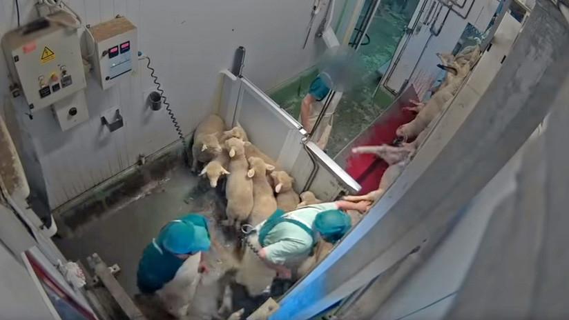 Difunden duras imágenes de maltrato animal captadas en el interior de un matadero en España