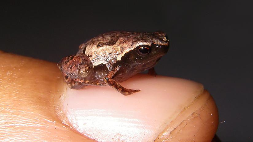 Mínima, Minúscula y Miniatura: dan nombre a unas de las ranas más pequeñas del mundo, recién descubiertas en Madagascar