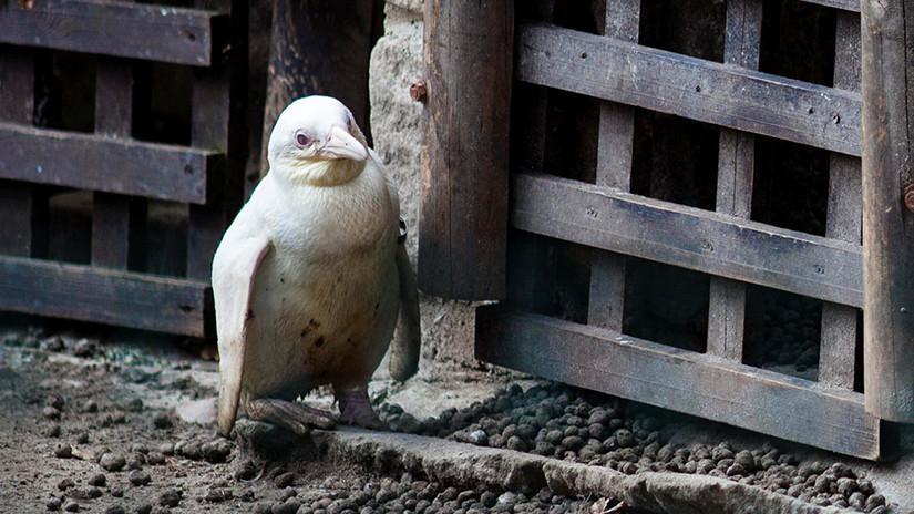 pingüino albino