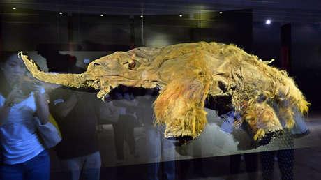 El cuerpo congelado del mamut 'Yuka' expuesto al público en la ciudad de Yokohama, Japón, el 12 de julio de 2013