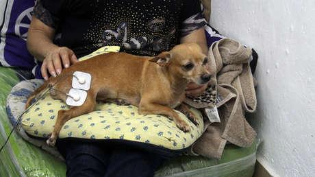 Milton en terapia de rehabilitación, luego de haber perdido la movilidad en la mitad del cuerpo tras el ataque de otro perro.