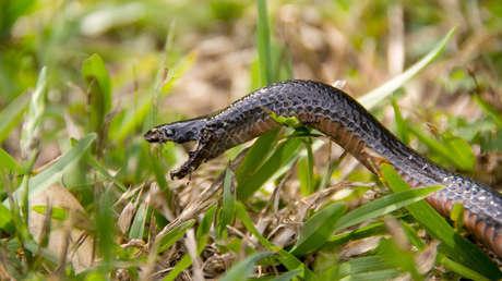 Imagen ilustrativa / Serpiente negra de vientre rojo.