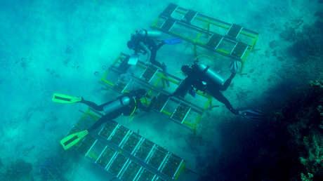 Buzos colocan los hogares para los híbridos de coral en la Gran Barrera de Coral.