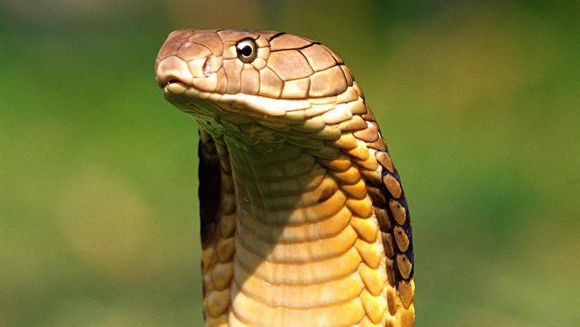 VIDEO: Un chino quiere hacerle una buena foto a una cobra y la osadía acaba en tragedia