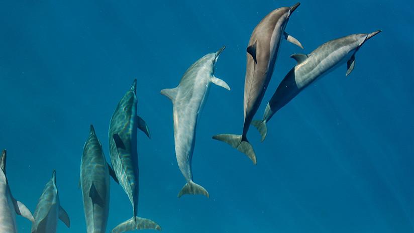 Alertan de que una ola de calor marina podría poner en peligro la existencia del delfín del Indo-Pacífico