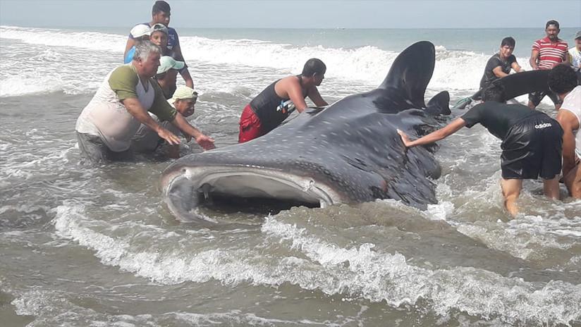 """Pescadores y bañistas devolvieron al mar a """"tiburón ballena"""" encallada en costa de Ecuador (VIDEO)"""