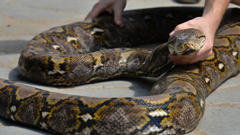 FOTO: Capturan una gigantesca pitón de más de 63 kilos que incubaba 73 huevos