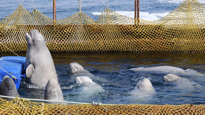 Las orcas y belugas de la 'cárcel de ballenas' en el Lejano Oriente ruso serán liberadas en su hábitat natural