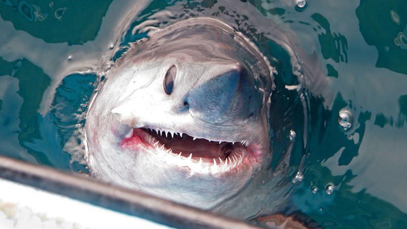 VIDEO: El momento de la captura de un enorme tiburón de 250 kilógramos y más de dos metros de longitud