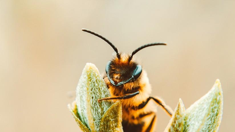 Acude al médico por un ojo hinchado y le descubren cuatro abejas alimentándose de sus lágrimas