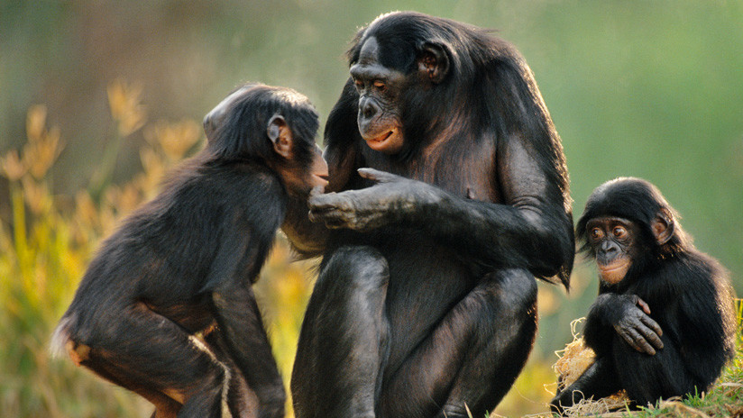 Científicos experimentan con genes humanos en el cerebro de monos