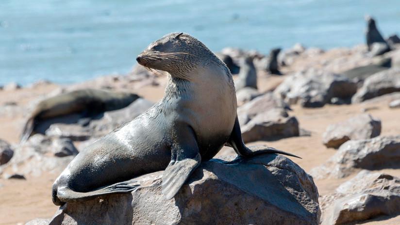 VIDEO: Salvan a una foca que tenía una cuerda de plástico enrededada alrededor del cuello