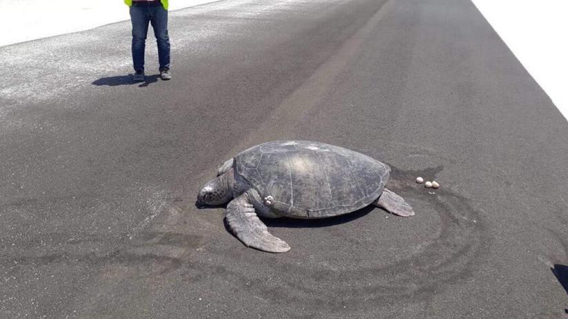 FOTO: Una tortuga marina emerge del agua para desovar y encuentra la playa convertida en la pista de un aeropuerto