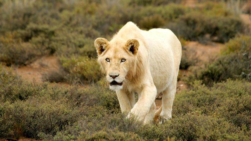 VIDEO: Ignora las advertencias de un parque y la leona a la que acaricia le muerde de gravedad