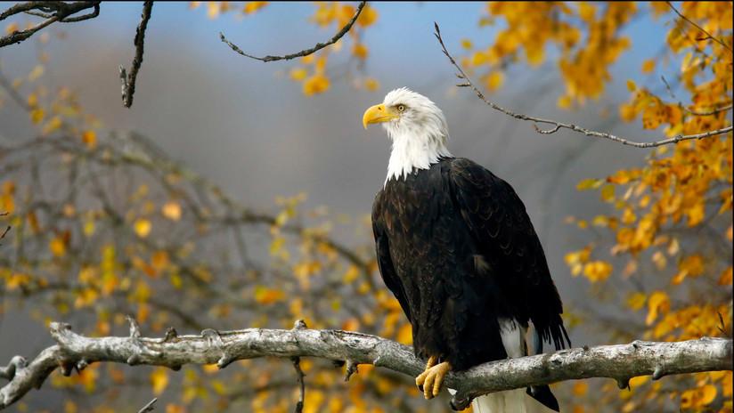 FOTO: En esta inusual familia de águilas hay dos papás y una mamá
