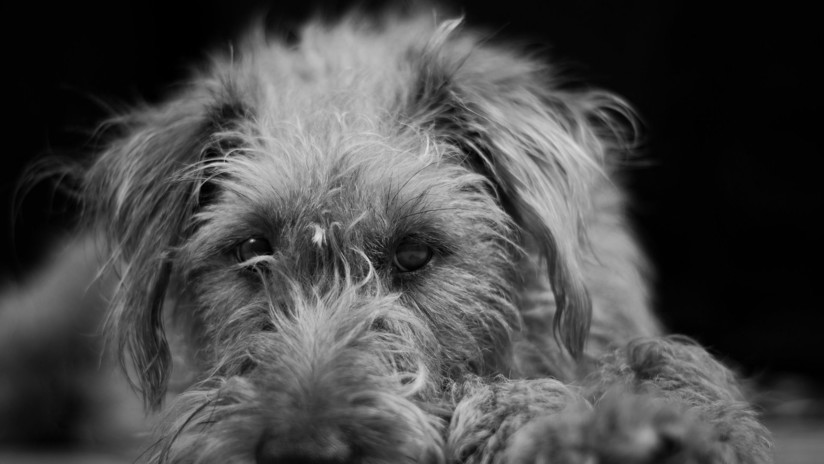 Rusia: Un perro al que dieron por muerto y enterraron 'resucita' de su tumba y se reúne con sus dueños (FOTOS)