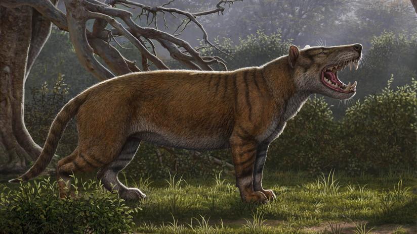 Fósiles encontrados y olvidados hace décadas pertenecen a antiguos felinos gigantes desconocidos