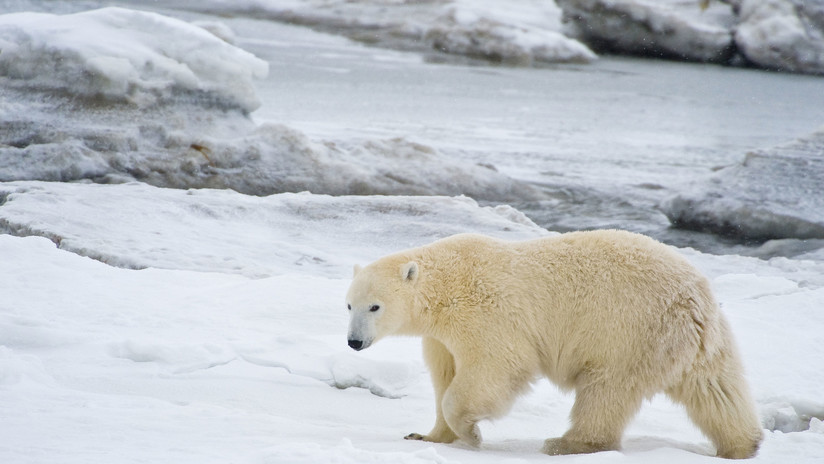 VIDEO: Encuentran en Kamchatka a un oso polar que recorrió 700 kilómetros en busca de comida