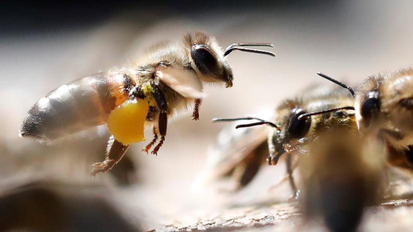 Que aprendan los hinchas como se hace una ola: Así se defienden las abejas de sus atacantes