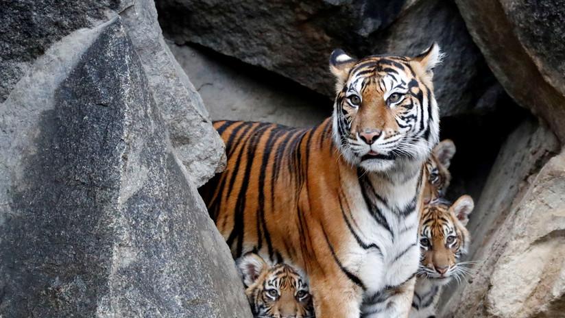 Un tigre hiere gravemente a la empleada de un zoo en Kansas