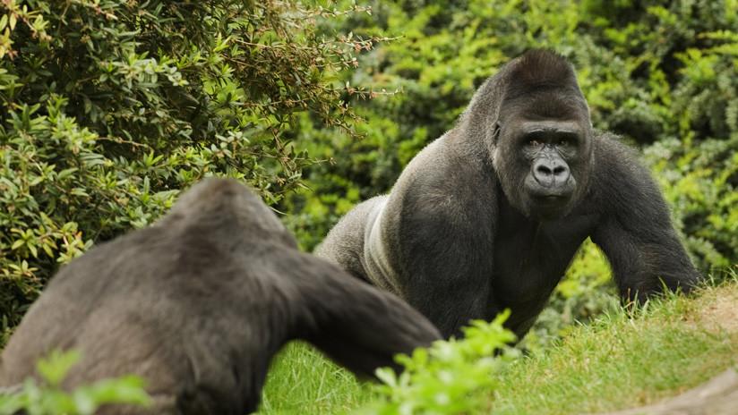 FOTO: Dos gorilas en peligro de extinción posan para un selfi imitando una pose muy humana