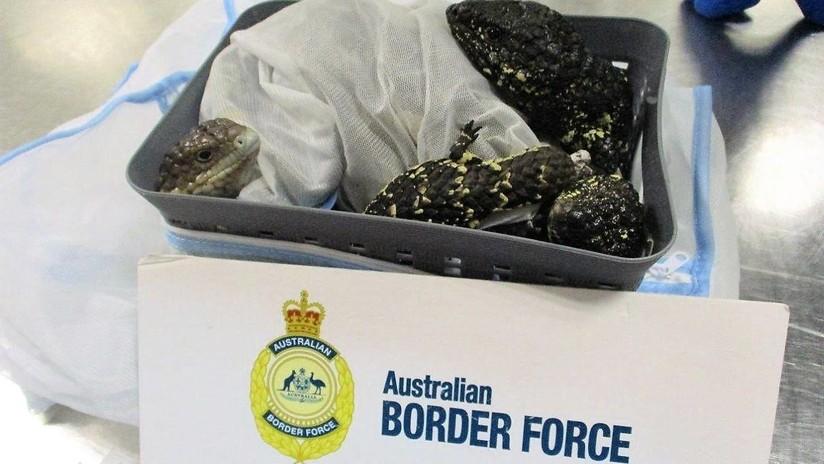 FOTOS: Detienen a una japonesa en un aeropuerto por tratar de contrabandear 19 lagartijas en su maleta