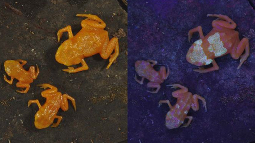 VIDEO: Unas ranas tóxicas brasileñas son los primeros anfibios que brillan desde el interior