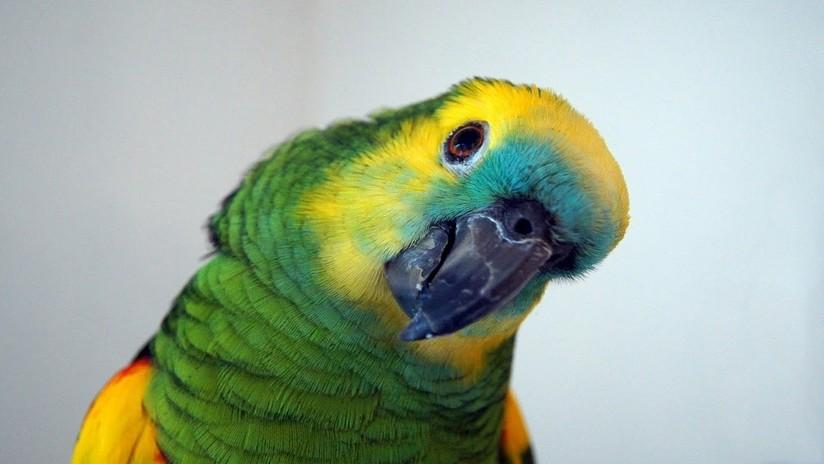 Resultado de imagen para arresta un papagayo